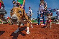 """14 April 2013: Dogs and their owners from the region take part in the pre-game """"Pup Parade"""" as a part of the """"Pups in the Park"""" celebration at a game between the Atlanta Braves and the Washington Nationals at Nationals Park in Washington, DC. The Braves shut out the Nationals 9-0 to sweep their 3-game series. Mandatory Credit: Ed Wolfstein Photo *** RAW (NEF) Image File Available ***"""