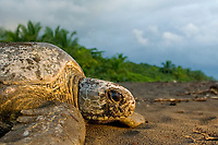 green sea turtle, Chelonia mydas, adult, female, returning to the sea after nesting, Tortuguero, Costa Rica, Pacific Ocean