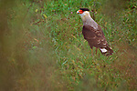 A Crested Caracara perches in the green grass in South America.