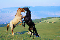 Two wild horse stallions in dominance conflict.  Pryor Mountain Wild Horse Refuge, MT.  Summer..(Equus caballus)