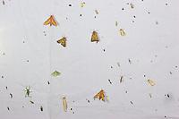 Lichtfang, Nachts aufgebautes Leuchtzelt lockt Nacht-Schmetterlinge und andere Insekten an, Leuchten, Kartierung, Untersuchung, forschen, Forschung, Entomologie, Lichtfalle, Exkursion