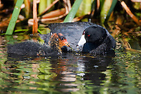 American Coot feeding its' young