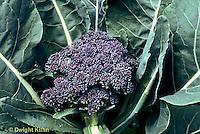 HS27-006a  Purple Cauliflower - Violet Queen variety