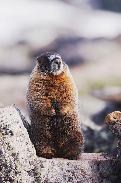 Yellow-bellied Marmot,Marmota flaviventris,adult standing on rock boulder,Rocky Mountain National Park, Colorado, USA