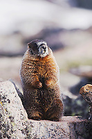 Yellow-bellied Marmot,Marmota flaviventris,adult standing on rock boulder,Rocky Mountain National Park, Colorado, USA