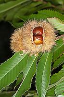 Edelkastanie, Esskastanie, Edel-Kastanie, Ess-Kastanie, Echte Kastanie, Marone, Früchte am Baum, Castanea sativa, Spanish Chestnut, Châtaignier commun