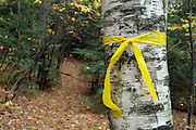 A yellow ribbon wrapped around a Birch tree during the autumn  months. The ribbon marks the trail