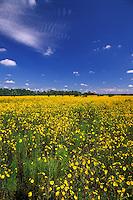 Narrow-Leaved Sunflower Helianthus angustifolius Corkscrew Swamp