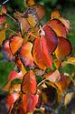 Autumn foliage of Pear 'Beurre Hardy', early November.