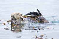 Enhydra lutris nereis, Sea otter, A female sea otter floats on its back on the ocean surface while her pup pops its head above the water for a look around, Both otters will wrap itself in kelp (seaweed) to keep from drifting as it rests and floats,, Morro Bay, California, USA