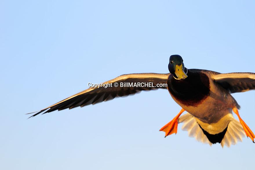 00330-083.18 Mallard Duck drake in flight with wings set as it come in for landing.  Hunt, greenhead, waterfowl.