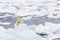 polar bear, Ursus maritimus, lying on the floating ice, Vulnerable (IUCN), Spitsbergen, Svalbard, Norway, Arctic Ocean, polar bear, Ursus maritimus
