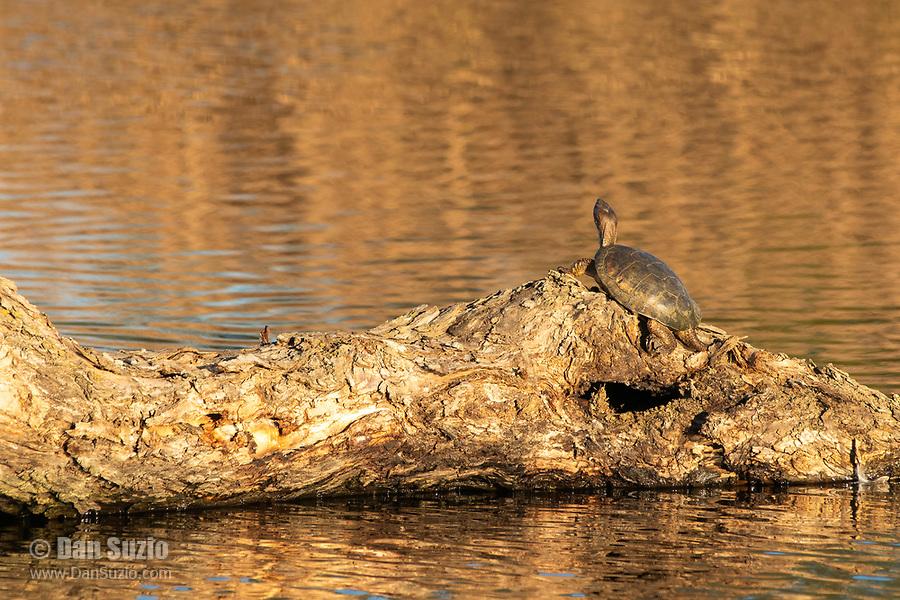 Northwestern Pond Turtle, Actinemys marmorata, basks on a log in Colusa National Wildlife Refuge, California