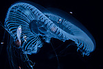 Aequorea forskalia jellyfish w fish, with amphipods, hyperiids,