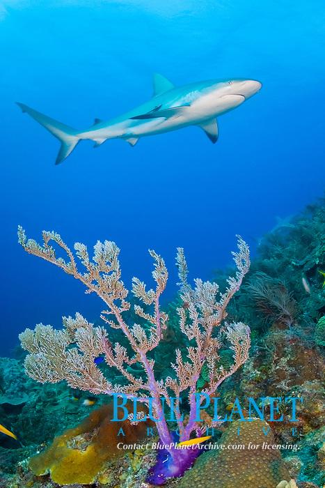 Caribbean Reef Shark, Carcharhinus perezii, swimming over a purple fan coral. Little Bahama Bank, Bahamas, Atlantic