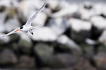 Elegant Tern (Thalasseus elegans) flying, Elkhorn Slough, Monterey Bay, California