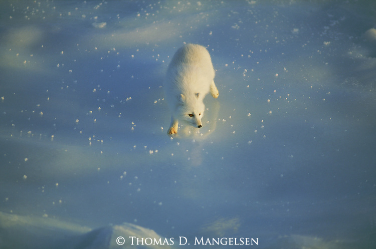 Portrait of an arctic fox reflected in the ice of Hudson Bay.