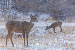 White-tailed doe and her fawn during a snowstorm in northern Wisconsin.