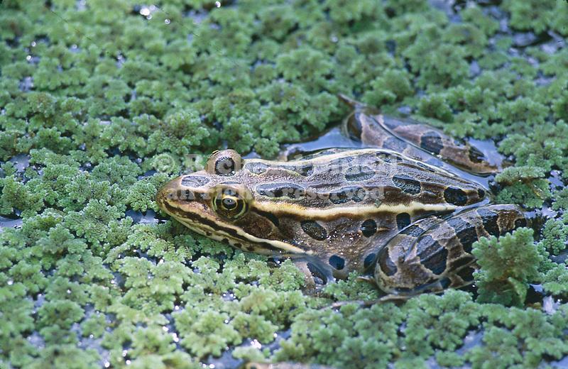 2759-HW Northern Leopard Frog, Rana pipiens, brown type, in pond w/ Water Fern, Azolla caroliniana; Stillwater Minnesota