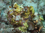 Warty Frogfish, Bohol, Philippines 2016