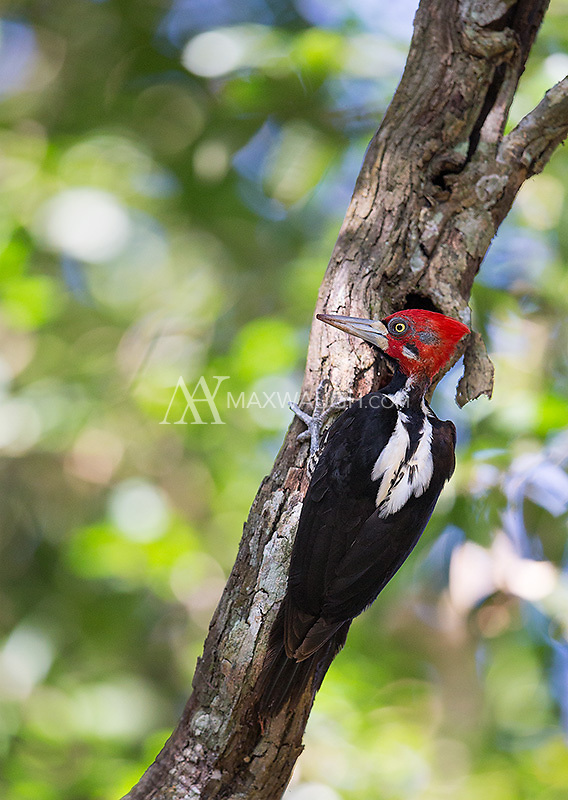 One of the new woodpecker species I saw during the trip was the Crimson-crested.  This is the female.