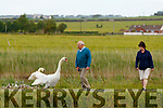 George Raymond walking past Swans on the canal walk near Blennerville on Friday.