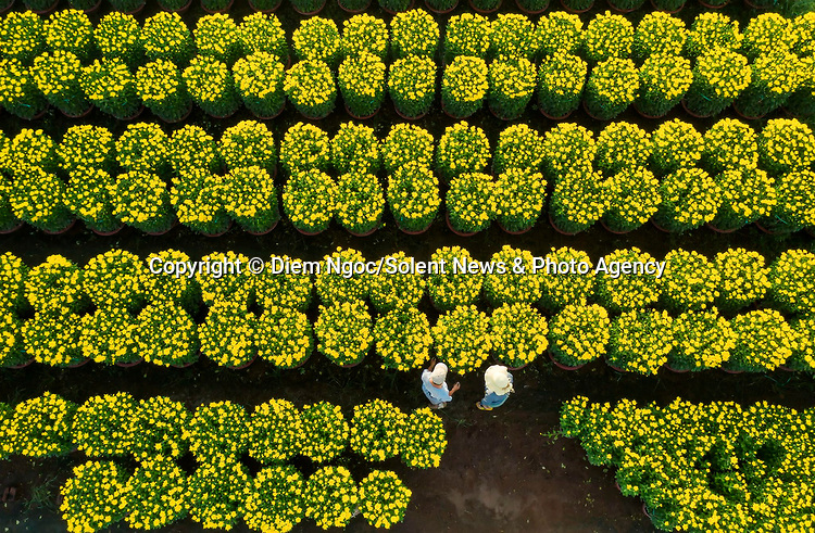 Pictured:  Fields of yellow flowers bloom as workers harvest brightly-coloured chrysanthemums.<br /> <br /> The vast area, filled with 100,000 pots of beautiful flowers, creates an incredible spectacle when viewed from above.<br /> <br /> The workers of Thong Nhat district, Dong Nai province, Vietnam harvest the flowers so they can be used to decorate streets throughout Vietnam in time for Tet Festival.   SEE OUR COPY FOR FULL DETAILS.<br /> <br /> <br /> Please byline: Diem Ngoc/Solent News<br /> <br /> © Diem Ngoc/Solent News & Photo Agency<br /> UK +44 (0) 2380 458800