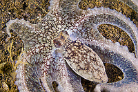 White octopus, Octopus sp., Lembeh Strait, North Sulawesi, Indonesia.