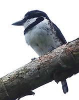Pied puffbird