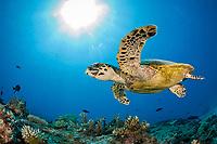 Hawksbill Turtle, Eretmochelys imbricata, Namena Marine Reserve, Fiji