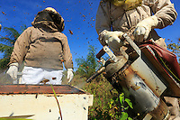 Before opening the hive, the giant smoker from Brazil goes into action. <br /> The varroa mite, a parasite for bees, is better tolerated by the Africanized bees because they manage to delouse themselves and also because they regularly change their habitat, which limits growth of the varroa population.///Avant l'ouverture d'une ruche, l'enfumoir géant d'origine brésilienne entre en action.<br /> Le varroa, le parasite des abeilles est beaucoup mieux toléré par les abeilles africanisées car elles arrivent à s'épouiller et aussi car elles changent d'habitat régulièrement ce qui  limite la croissance des populations de varroa.