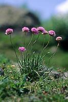 Alpen-Grasnelke, Alpengrasnelke, Armeria alpina, Armeria maritima ssp. alpina, Alpine Thrift, Armérie des Alpes