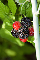 Black Raspberry Bristol ripening on plant with black and red berries