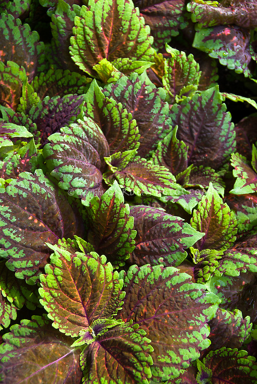 Coleus Picture Perfect Salmon, annual ornamental foliage plant in colorful variegated leaf shaeds of salmon red and green purple