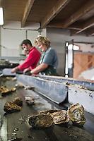 Europe/France/Poitou-Charentes/17/Charente-Maritime/Ile de Ré/Ars-en-Ré: l'Huitrière de Ré, ferme ostréicole de Tony Berthelot - Tri et calibrage des huîtres