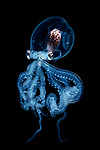 Pictured: Wunderpus larvae, Octopus<br /> <br /> Alien-looking sea creatures which measure just millimetres are seen floating in the darkness of the ocean.  Photos of the see-through black-water larvae, octopus, fish and eels - taken at depths of between 15 and 30 metres below the surface - show the organs of the tiny beings in striking detail.<br /> <br /> Exceptional skill and a keen eye are required to find and photograph the creatures, which measure between one millimetre and two centimetres in size and move quickly through the dark waters.  Photographer Yung-Sen Wu took these pictures off the Philippines and Taiwan, and says it is a challenging task to complete in the pitch-black waters.  SEE OUR COPY FOR DETAILS.<br /> <br /> Please byline: Yung-Sen Wu/Solent News<br /> <br /> © Yung-Sen Wu/Solent News & Photo Agency<br /> UK +44 (0) 2380 458800