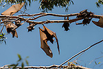 Little Red Flying-fox (Pteropus scapulatus) foxes roosting on inland white mahogany, Eucalyptus trees and easily spooked into flying.  This massive colony, estimated to peak at about 100,000 bats, took up residence along the Wild River of Heberton sometime early Dec 2013 with the mass flowering of the eucalyptus trees or Inland White Mahogany with the little reds seeking its nectar and pollen.  The Little Red Flying-fox is a species of megabat native to northern and eastern Australia. With a weight of 280–530 grams (9.9–18.7 oz) it is the smallest flying fox in mainland Australia (the others being the black, spectacled and grey-headed flying foxes).