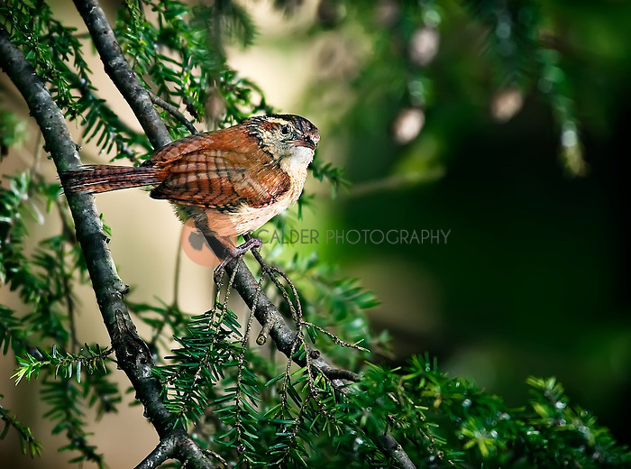Carolina Wren perched inhemlock tree i n North Carolina