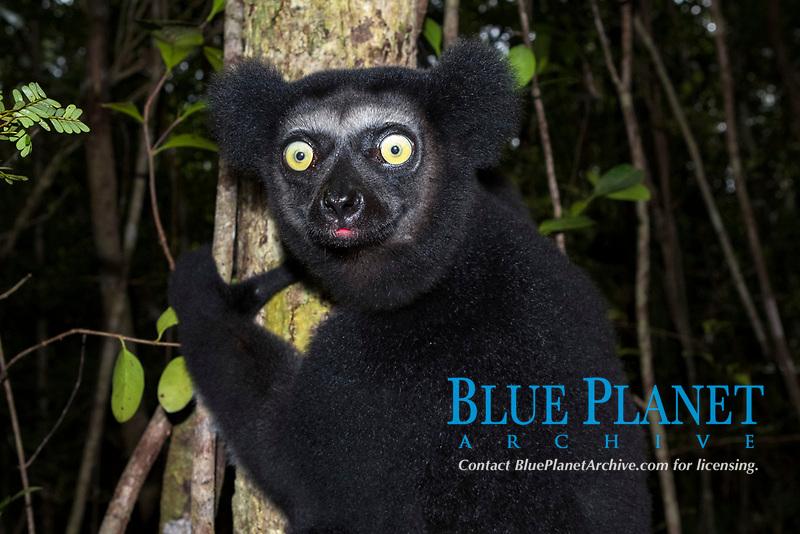Indri (Indri indri) on a tree, northeast Madagascar, Madagascar, Africa