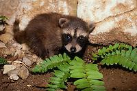 Baby raccoon, Procyon lotor, in rocks near fern, Missouri USA