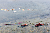 Annual Adams River Sockeye Salmon Run (Oncorhynchus nerka), Roderick Haig-Brown Provincial Park near Salmon Arm, BC, British Columbia, Canada - Fish returning to Spawn - note dead fish floating on water