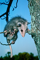 Young opossum, Didelphis marsupialis, hanging on tree branch