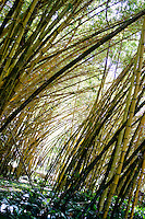 A view of a bamboo forest during a tour of the Allerton Gardens, part of the National Tropical Botanical Garden located in Lawa'i, Kaua'i.