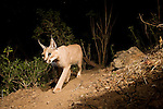 Arabian Caracal (Caracal caracal schmitzi) at night, Hawf Protected Area, Yemen