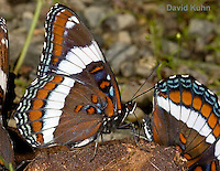 """0704-0802  White Admiral Butterfly """"Drinking Moisture from Animal Feces"""", Limenitis arthemis """"Northeast United States Form""""  © David Kuhn/Dwight Kuhn Photography"""
