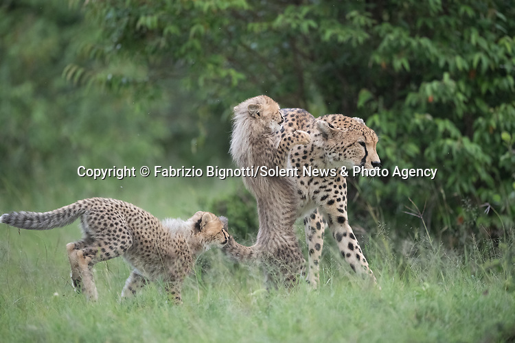 SEQUENCE 4 OF 15:  A young cub takes a tumble as he tries to crawl up his mother's back.  The small African cheetah falls on its paws after being shoved to the ground by its jealous sibling.<br /> <br /> Wrestling each other on the uncut grass, the cubs try to grab their mother's attention.  Amateur photographer Fabrizio Bignotti captured the cubs playing near their mother at Masai Mara National Reserve, Kenya.  SEE OUR COPY FOR DETAILS.<br /> <br /> Please byline: Fabrizio Bignotti/Solent News<br /> <br /> © Fabrizio Bignotti/Solent News & Photo Agency<br /> UK +44 (0) 2380 458800