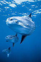ocean sunfish, Mola mola, San Diego, California, USA, East Pacific Ocean