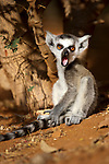 Infant Ring-tailed Lemur (Lemur catta)(6-8 weeks) on forest floor. Berenty Private Reserve, southern Madagascar.