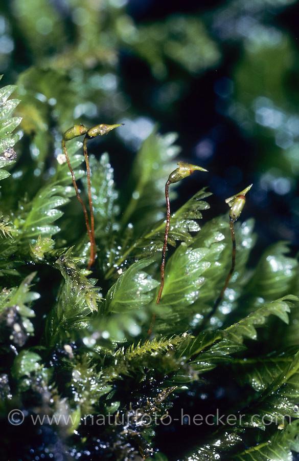 Haarfarnähnliche Spaltzahnmoos, Fissidens adianthoides, maidenhair pocketmoss