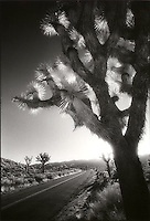 Joshua Tree next to road<br />